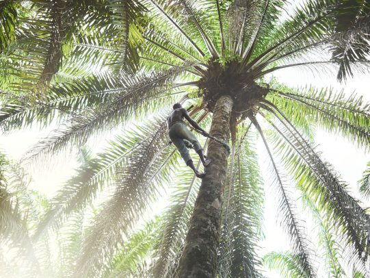 man climbing palm tree
