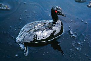 Cormorant in an Oil Spill