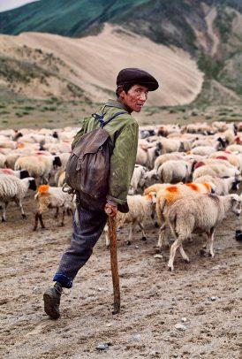 tibetan shepard with a herd