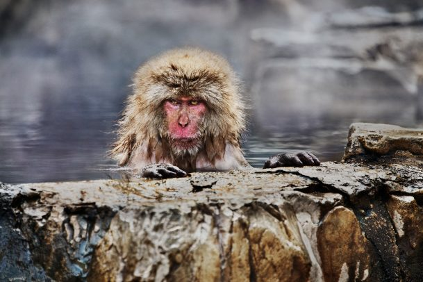 japanes Maquaque having hot bath