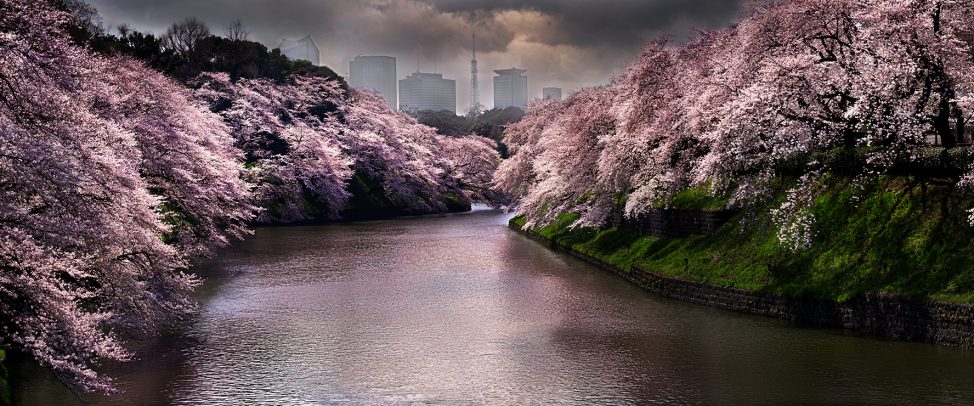 river with cherry tree in bloom and skyscrapers on the backgroud