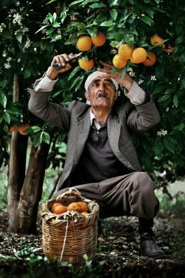 old man harvesting oranges