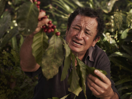 Man picking the coffee beans from a branch for Lavazza Calendar 2016 by Joey L