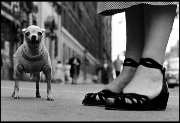 chihuahua and a pair of shoes