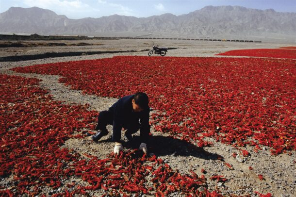 a woman spread out to dry in the sunnewly harvested red chili peppers