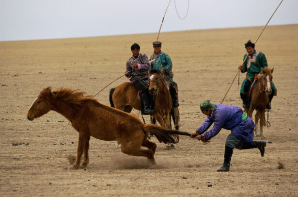 men breaking a colt grabbing his tail in desert