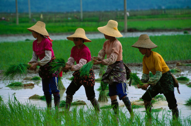 Bai women transplant rice for one of the annual harvests