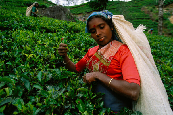 woman picking by hand tea leaves in Sri Lanka