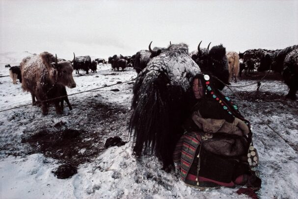 Woman milking a yak