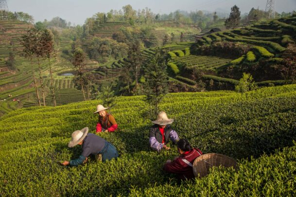 pickers of tea leaves in shangri la