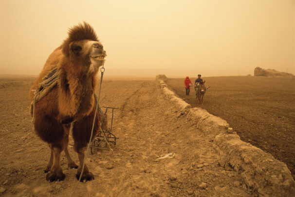 A Bactrian camel takes a break from plowing beside remains of the Han Wall, built to protect the trade corridor