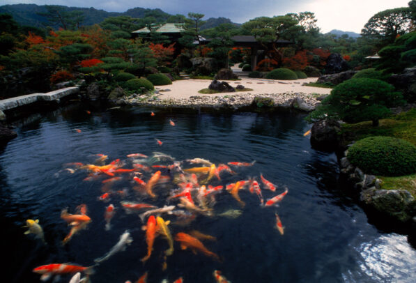 colored carps in a pond of a japanese garden