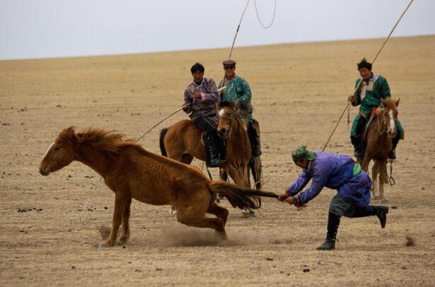 men breaking a colt grabbing his tail in desert