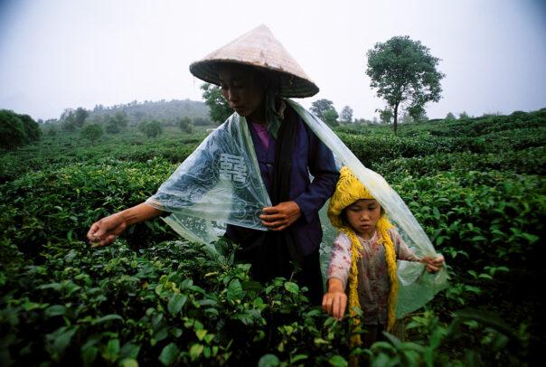 Woman and girl harvesting pekoe, the tender tea leaves, in Yunnan