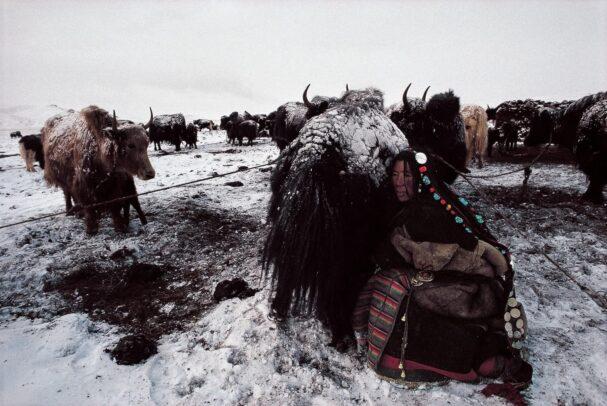 Woman milking a yak