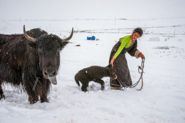 woman in snow with a cuddle of yak