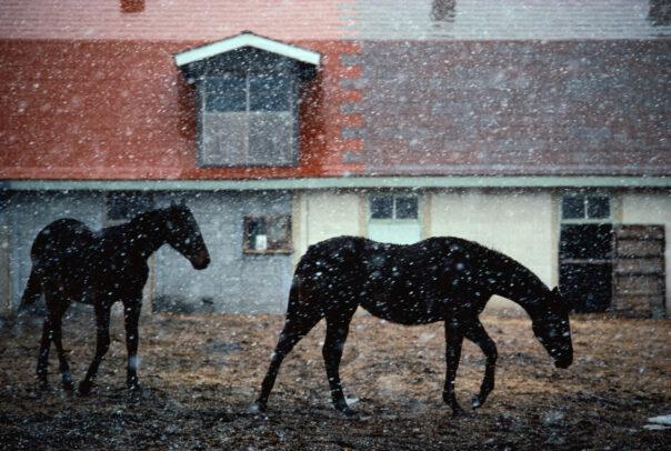 Horses in snow in Hokkaido by Michael Yamashita
