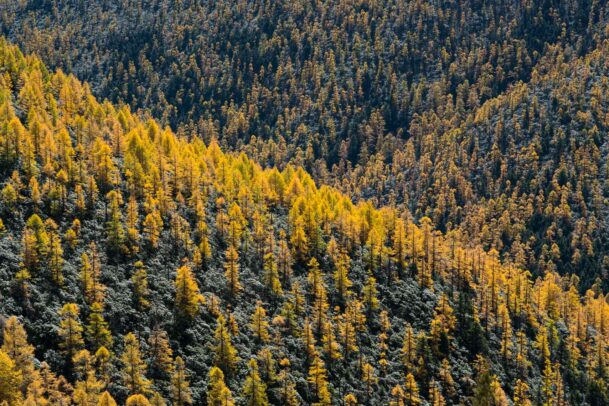 yellow spruces in Tibet