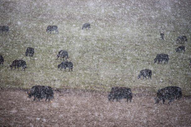 yak herds in may snow in Tibet
