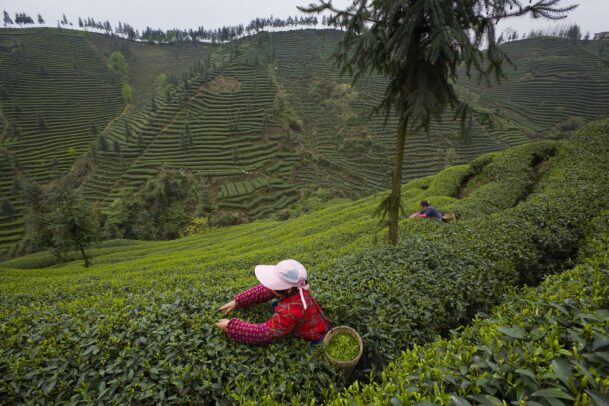woman picking by hand tea leaves