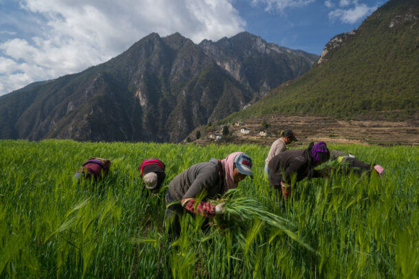 women picking up barley by hand