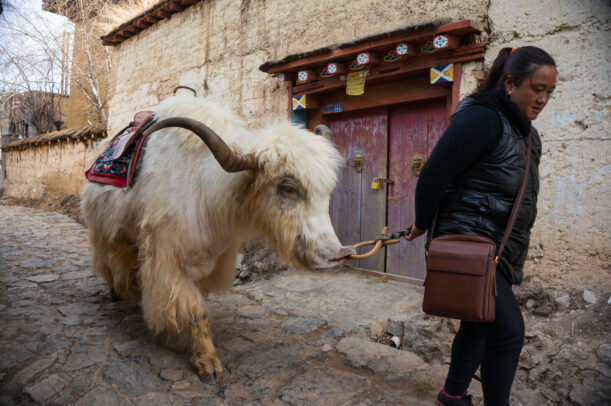 A white yak follows its owner along a street in Shangri-La