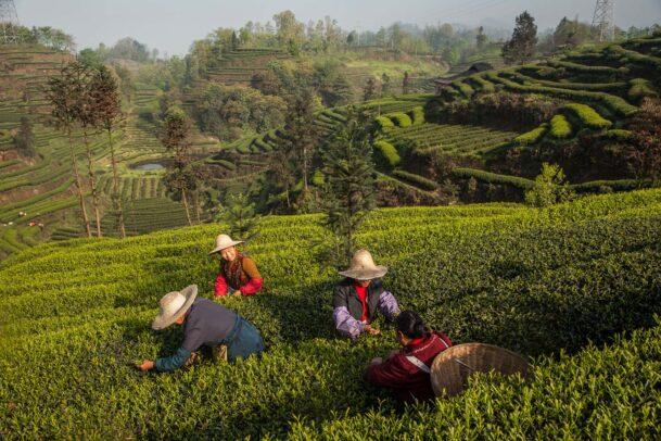 pickers of tea leaves in shangri la