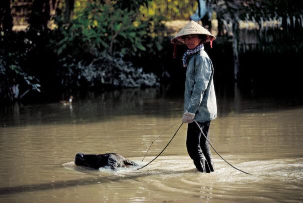 Water buffalo surfing, Mekong Delta.
